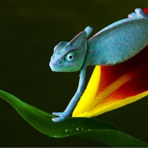chameleon-ipad-background